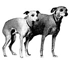 miniature greyhounds